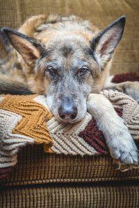 Psia demencja i problemy ze stawami