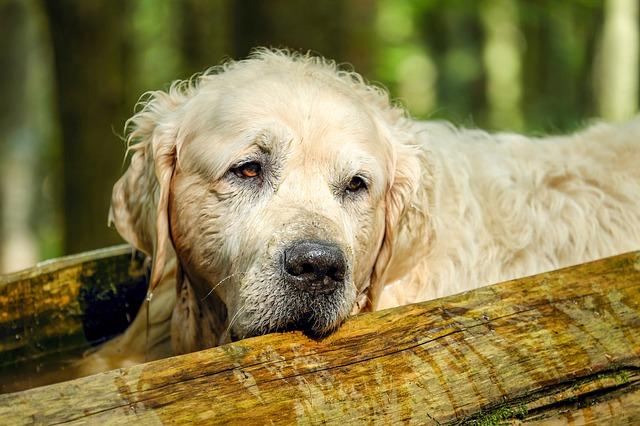 Choroba Alzheimera u psów
