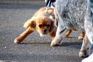 Agresja smyczowa u psów
