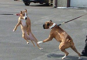 Agresja smyczowa prowadzi czasem do agresji ogólnej u psów